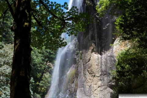 Silver Falls Maple